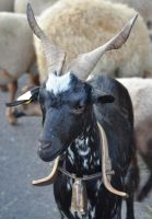 Goat with bell. by jennystokes
