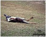 A lazy roo by TlCphotography730