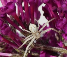 ..Thomisidae..,, by duggiehoo