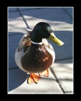 Handsome Duck 1 by lexidh