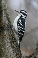 Hairy Woodpecker by mydigitalmind