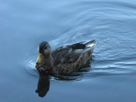 duck by brandrificus-stock