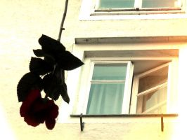 Red Rose by iBeci