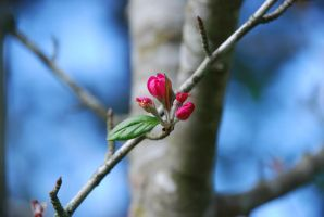 Pink Buds by iluvobiwan91