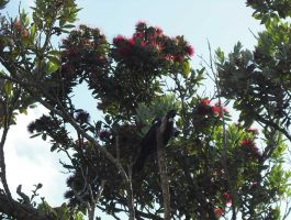 The Pohutukawa and the Tui by CJM99