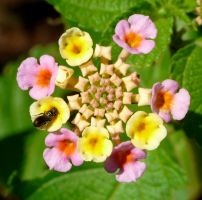 Lantana with Halictidae by duggiehoo