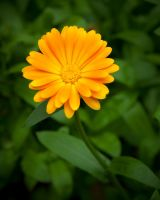 Yellow flower by juhku