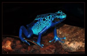 Blue poison frog by Nataly1st