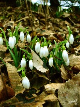 Snowdrops by Whisperingleaf