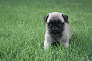 Pug Puppy by icantthinkofaname-09