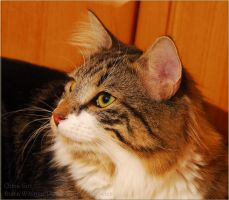 Norwegian Forest Cat11 by fiamen