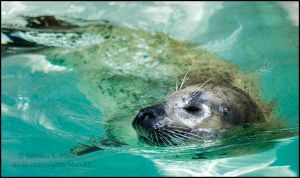 Harbor Seal by aheria