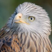 Red Kite Portrait by joeelway
