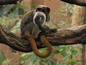 Bearded Emperor Tamarin 03 by animalphotos