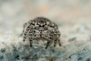 Jumping spider new by Dunadan-from-Bag-End
