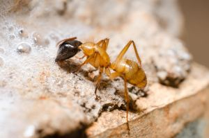 Black head ant by ssabbath