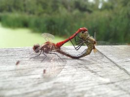 dragonfly mating by Daan-NL
