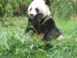 My First Time seeing a Giant Panda by Sabreleopard
