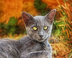 Grey Cat Closeup by BL00DYSunflowers