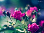 roses by oxygen2608