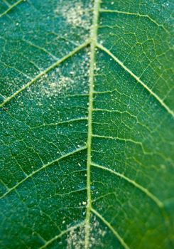 Green Leaf Macro by hhjr