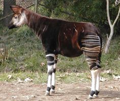 Okapi? by omelettedufromage
