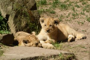 Baby Lions by stromstoerung