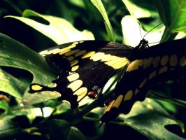 butterfly by Julieheartsyou