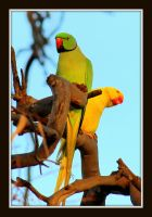 Indian ringneck parrots by wolftraz