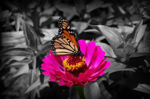 Butterfly On Pink Flower by justimagen