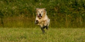 Golden Retriever in the jump by archaeopteryx-stocks
