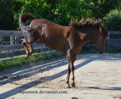 Liver chestnut morgan buck by equustock
