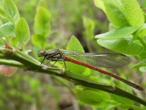 Large Red Damselfly by Juggernaut-Art