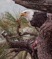 Bald Eagle 3 by MartinGollery