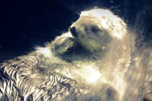 Sleeping Otter by baby-drummer23