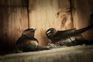Cliff Swallows 3 by S-H-Photography