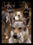 Sled dogs 2 by Pawkeye