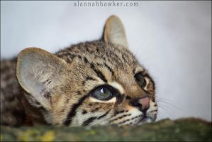 Geoffroy's cat kitten by Alannah-Hawker