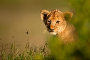 African Lion 29 by catman-suha