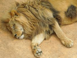 Sleeping lion by Bushrch