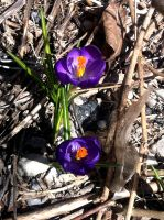 Crocuses-II by dlighted