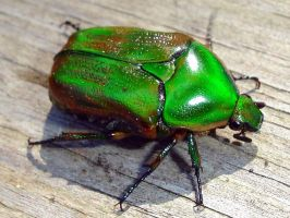 Green June Beetle by wolfepaw