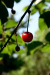 Cherry 2 by annafilip