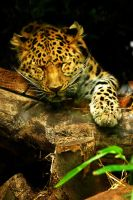 Amur Leopard Snooze by Shadow-and-Flame-86