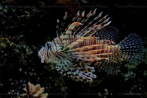 red lionfish by Sam2103
