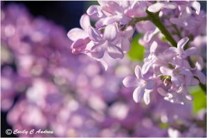 Lilac flowers by CecilyAndreuArtwork