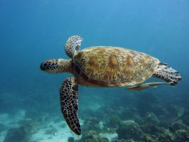 Green Sea Turtle by MartinJacobssonz