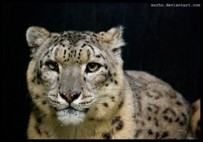 Nima, the snow leopard by morho
