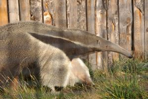 Giant anteater 3 by Silver-she-wolf-14