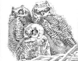 young owls by bwcopy
